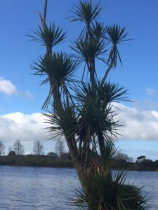 Lots of cabbage trees. There are lots of new plants around the lake